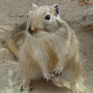 Great Gerbil photo