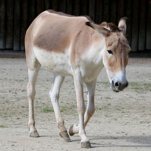 Persian Onager photo