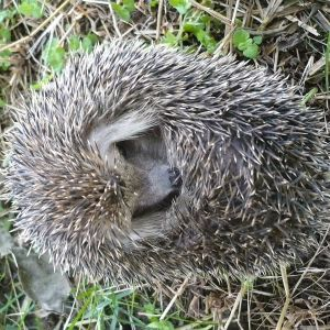 Long-Eared Hedgehog photo