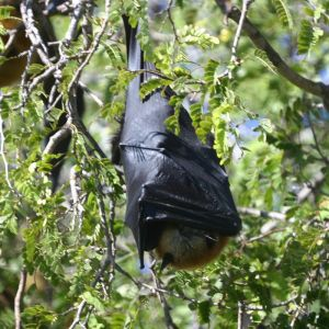 Madagascan Flying Fox photo