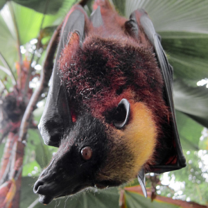 Giant Golden-Crowned Flying Fox photo