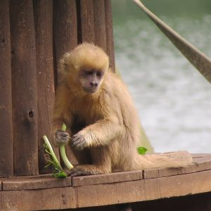 Blond Capuchin photo