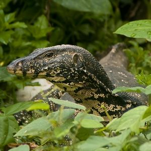Asian Water Monitor photo