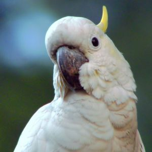 Yellow-Crested Cockatoo photo