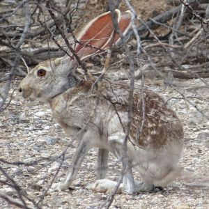 Antelope Jackrabbit photo