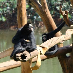 White-Cheeked Spider Monkey photo