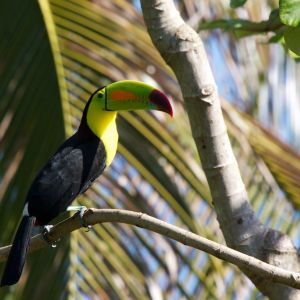 Keel-Billed Toucan photo