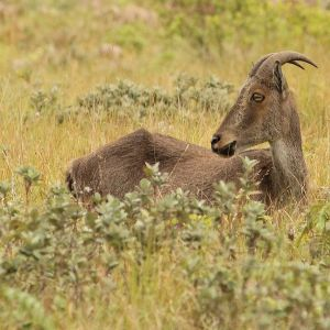 Nilgiri Tahr photo
