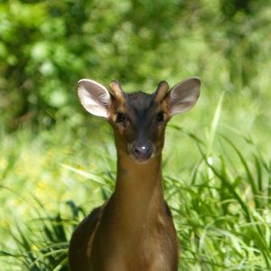 Reeves's Muntjac photo