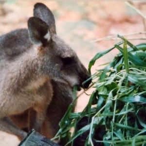 Antilopine Kangaroo photo
