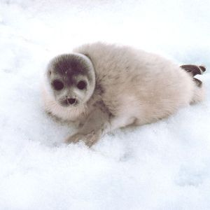 Spotted Seal photo