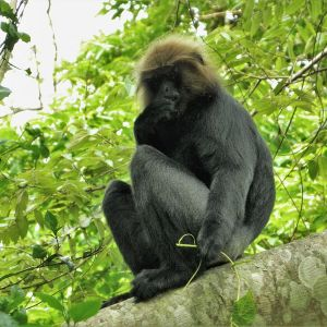Nilgiri Langur photo
