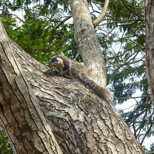 Grizzled Giant Squirrel photo