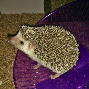 Four-Toed Hedgehog photo