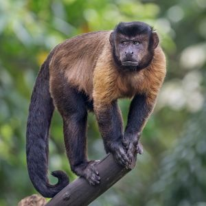 Black-Capped Capuchin photo