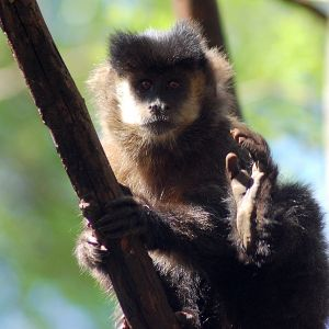 Black Capuchin photo