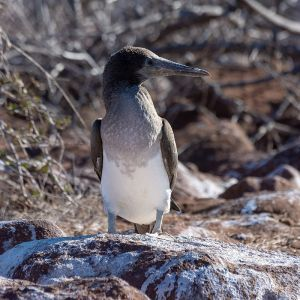 Blue-Footed Booby photo