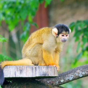 Black-Capped Squirrel Monkey photo