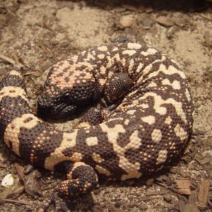 Gila Monster photo