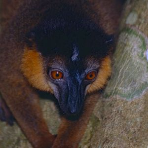 Collared Brown Lemur photo