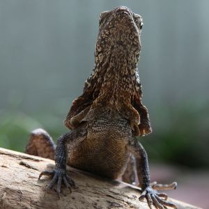 Frilled-Neck Lizard photo