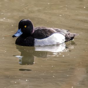 Tufted Duck photo