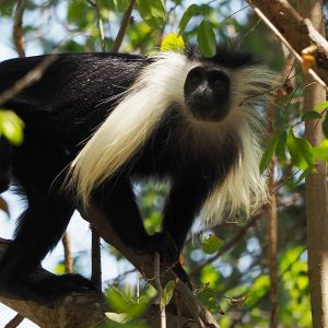 Angola Colobus photo
