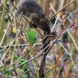Hispid Cotton Rat photo