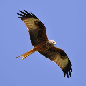 Red Kite photo