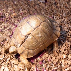Egyptian Tortoise photo