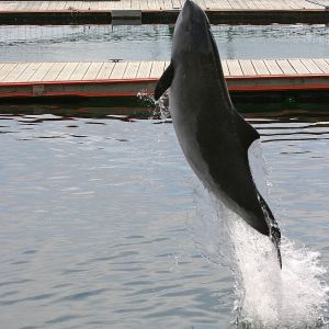 Harbour Porpoise photo