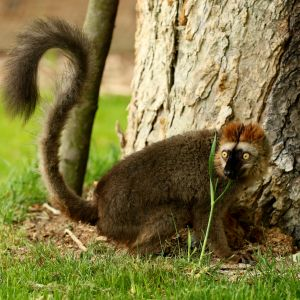 Red-Fronted Lemur photo