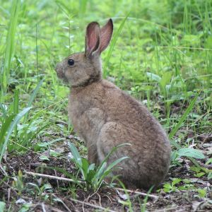 Japanese Hare photo