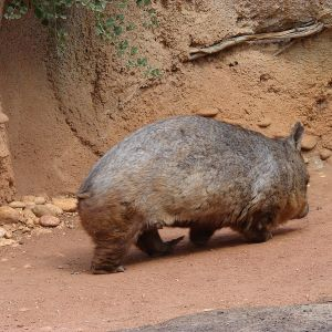 Northern Hairy-Nosed Wombat photo