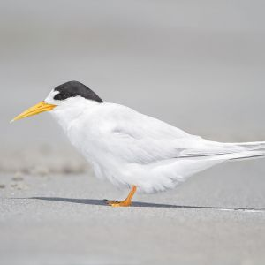 Fairy Tern photo