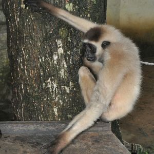 Bornean White-Bearded Gibbon photo