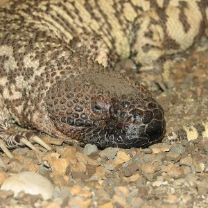 Mexican Beaded Lizard photo