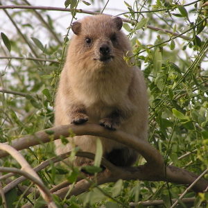 a confused rock hyrax