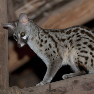 A female common genet in the dining room, Satao Camp, Tsavo East