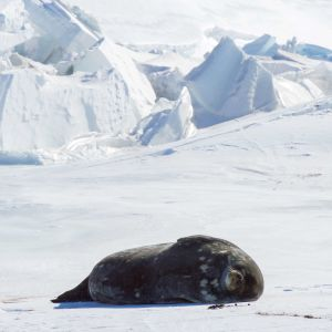 A Weddell Seal Basks in the sun as it Lays on the ice Outside Scott Base, the New Zealand Research Station