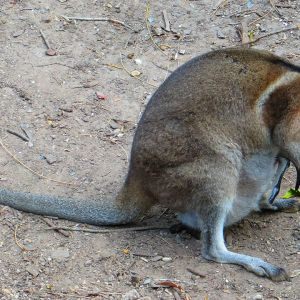 Bridled Nail-Tail Wallaby photo