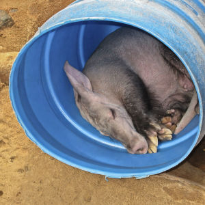 Aardvark in a barrel