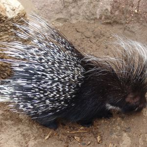 African crested Porcupine {Hystrix cristata}