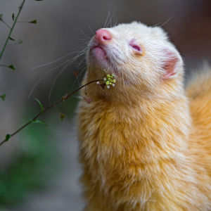 Albino ferret and plants