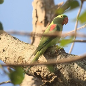 Alexandrine parakeet is ready to party!