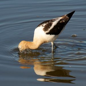 American Avocet in Shoreline Lake