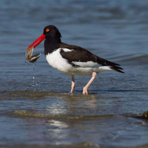 American Oystercatcher Fort DeSoto