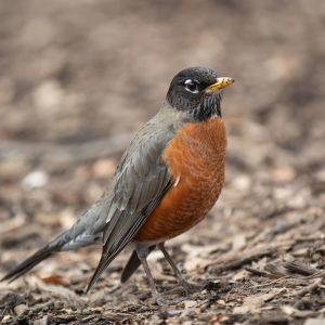 american robin - central park