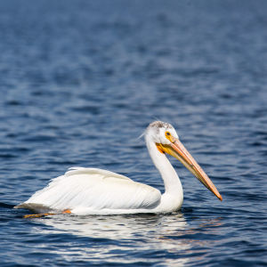 American white pelican, Yellowstone Lake