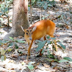 An Indian Muntjac 3